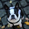 French bulldogs icon
