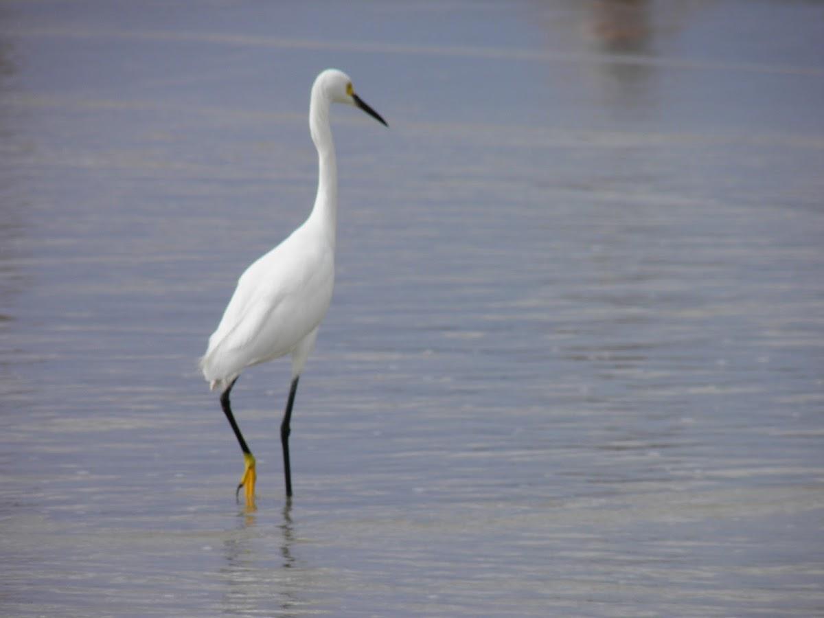 Garza (Egret)