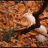 Eastern Gray Squirrel (Albino)
