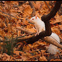Eastern Gray Squirrel (Albino)