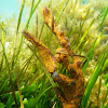 Ascidias Botrylloides leachi