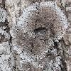 Gray Starburst Lichen