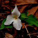 Large - flowered Trillium