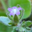 Small Bellflower