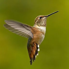 Hummingbird,  by Sheldon Bilsker - Animals Birds ( bird, hummingbird,  )