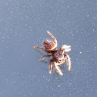 Jumping spider female