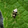 Spotted Nettlebug