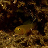 The Yellow Pygmy Goby