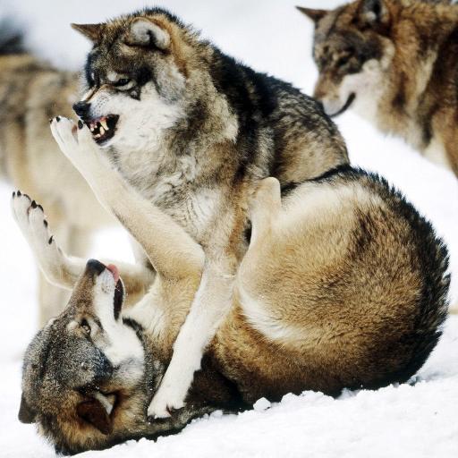На живые волк обои андроид