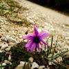 Broad Leaved Anemone / Zvjezdasta šumarica