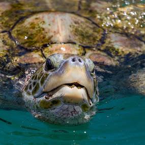 Turtle by Ivica Bajčić - Animals Reptiles ( bajcic, animals, ivica, nature, big, turtle, animal )