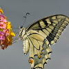 Old Wolrd Swallowtail