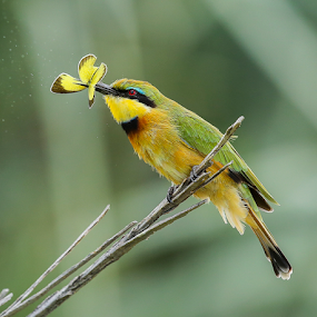 Little bee-eater with butterfly by Rian Van Schalkwyk - Animals Birds ( butterfly, colourful, little bee-eater, catch, perching, bee-eater,  )