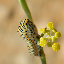 Old World Swallowtail caterpillar (κάμπια Μαχάωνα)