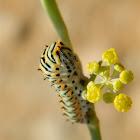 Old World Swallowtail caterpillar (κάμπια Μαχάωνα)