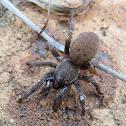 Lesser Baboon Spider