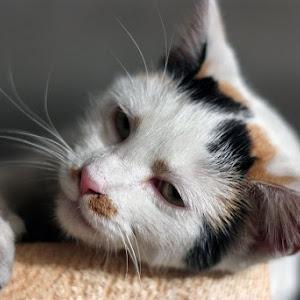 Pisica de lapte1mic.JPG