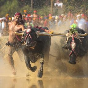 Speed by Ramya Raju - News & Events Entertainment ( kambla, buffallo race, sports, india, festival, karnataka, , colorful, mood factory, vibrant, happiness, January, moods, emotions, inspiration )