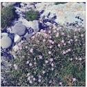 Pink rock flowers...