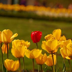 Only one is special... by Sebastian Mezei - Flowers Flower Gardens ( tulips )