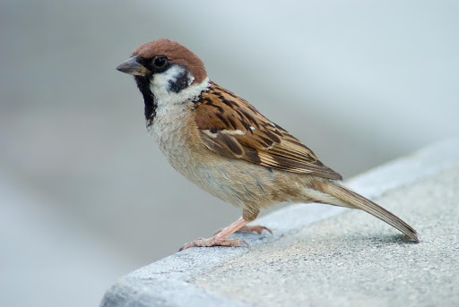 Sparrow Bird Sounds
