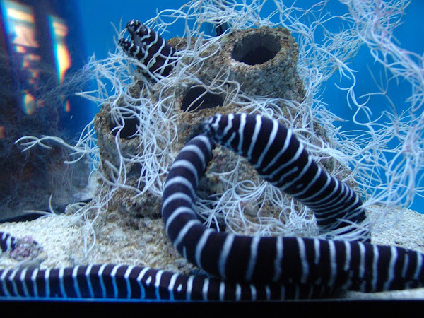 Zebra Moray Eel Project Noah