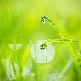 Grass Drops by Shane McKenzie - Nature Up Close Natural Waterdrops ( water, macro, grass, green, dew, drops, summer, spring, garden )