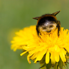 With a Smile by Manuela Kägi - Animals Insects & Spiders ( bee, funny, summer, smile, flower )
