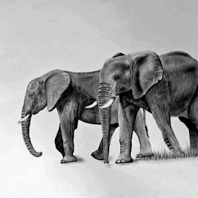 Elephant2 by Paul Murray - Drawing All Drawing ( elephant nature wildlife drawing pencil )