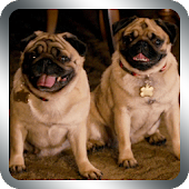 Cute Pugs Live Wallpaper