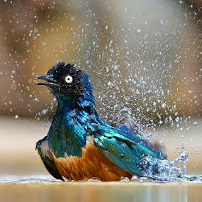 by Raj Dhage - Animals Birds ( nikon, nikon d7000 )