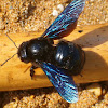Violet carpenter bee (Μέλισσα Ξυλουργός)