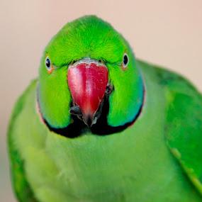 Angry Bird by Golam Kibria Sumon - Animals Birds ( bird, nature, angry, beauty, animal,  )