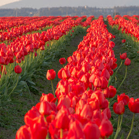 Rows and Rows of Red Tulips by Dana Styber - Flowers Flower Gardens ( red, skagit valley wa, tulips, flowers, fields )