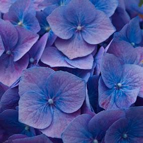 blue hydranger by Sandy Crowe - Flowers Flowers in the Wild ( blue, hydranger, flower, close,  )