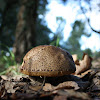 Red Cracking Bolete