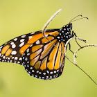 Southern Monarch