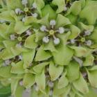 Green Milkweed
