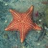 Cushion Sea Star (Orange)