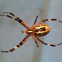 Wasp spider (Αργιόπη)