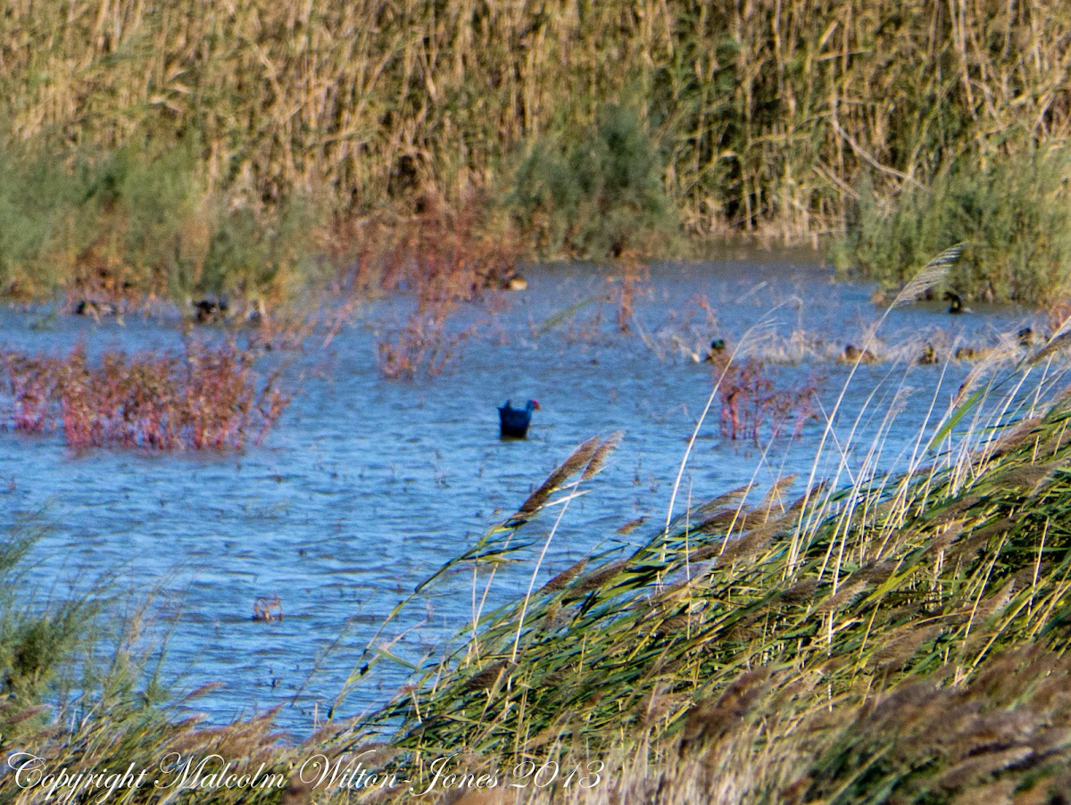 Purple Gallinule; Calamón