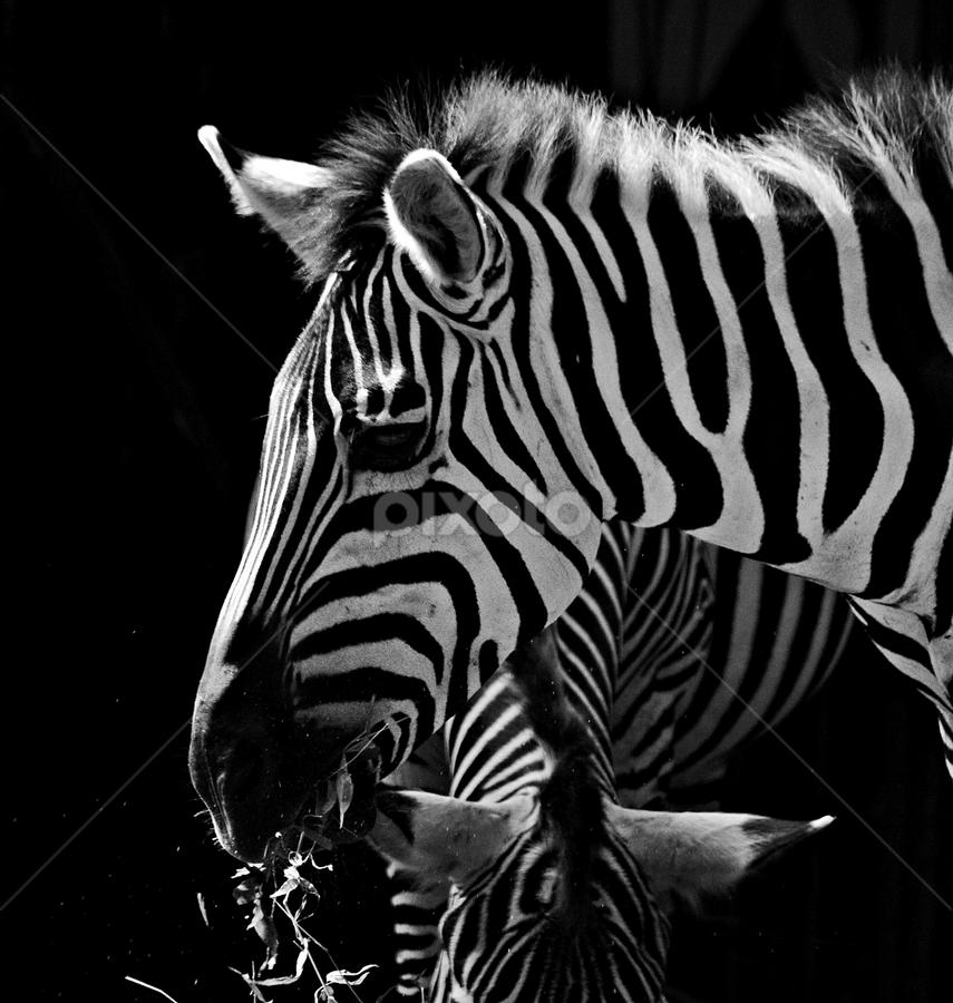 The real black & white by Sigit Purnomo - Black & White Animals (  )