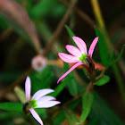 Lobelia chinensis (半邊蓮)
