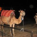 Dromedario o camello arábigo.