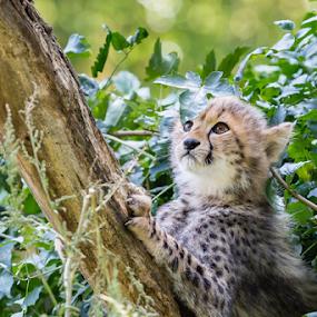 too high by Horst Winkler - Animals Lions, Tigers & Big Cats ( climb, baum, cheetahs, angry, children, kind, klettern, child, cheetah, climbing, nachwuchs, tree, trees, climber, gepard,  )