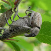 True Weevils or Snout beetles
