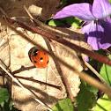 Ladybug (Mariehøne)