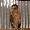 Crested-Serpent Eagle