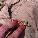 Northern Redbelly Snake