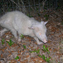 albino Virginia Opossum